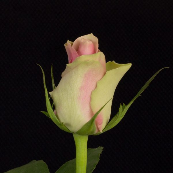 Belle-Rose-1