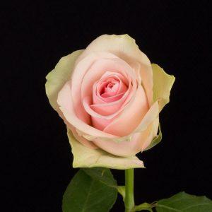 Belle Rose 2