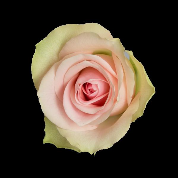 Belle-Rose-A