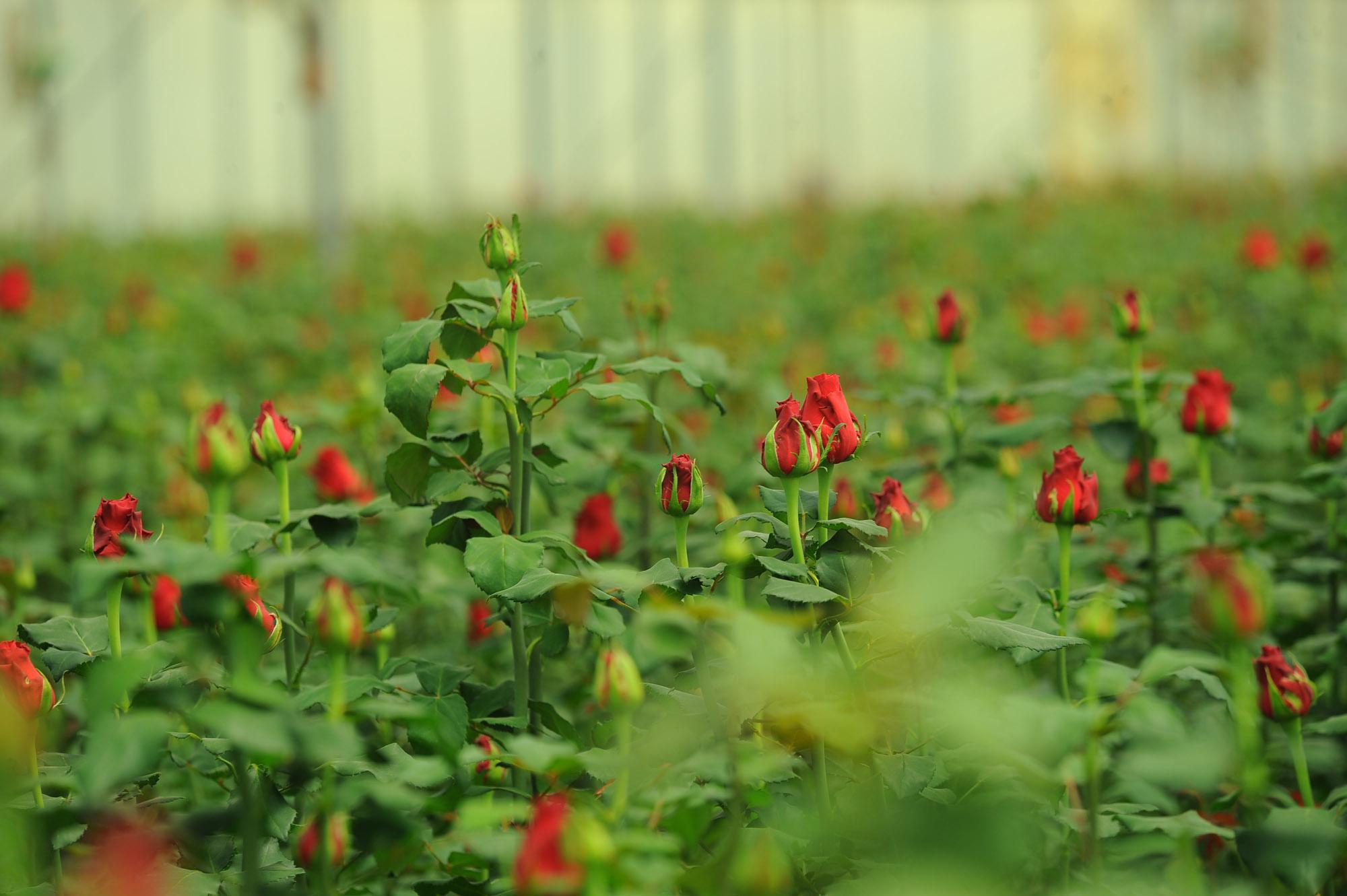 PJ Dave Flora Roses 3