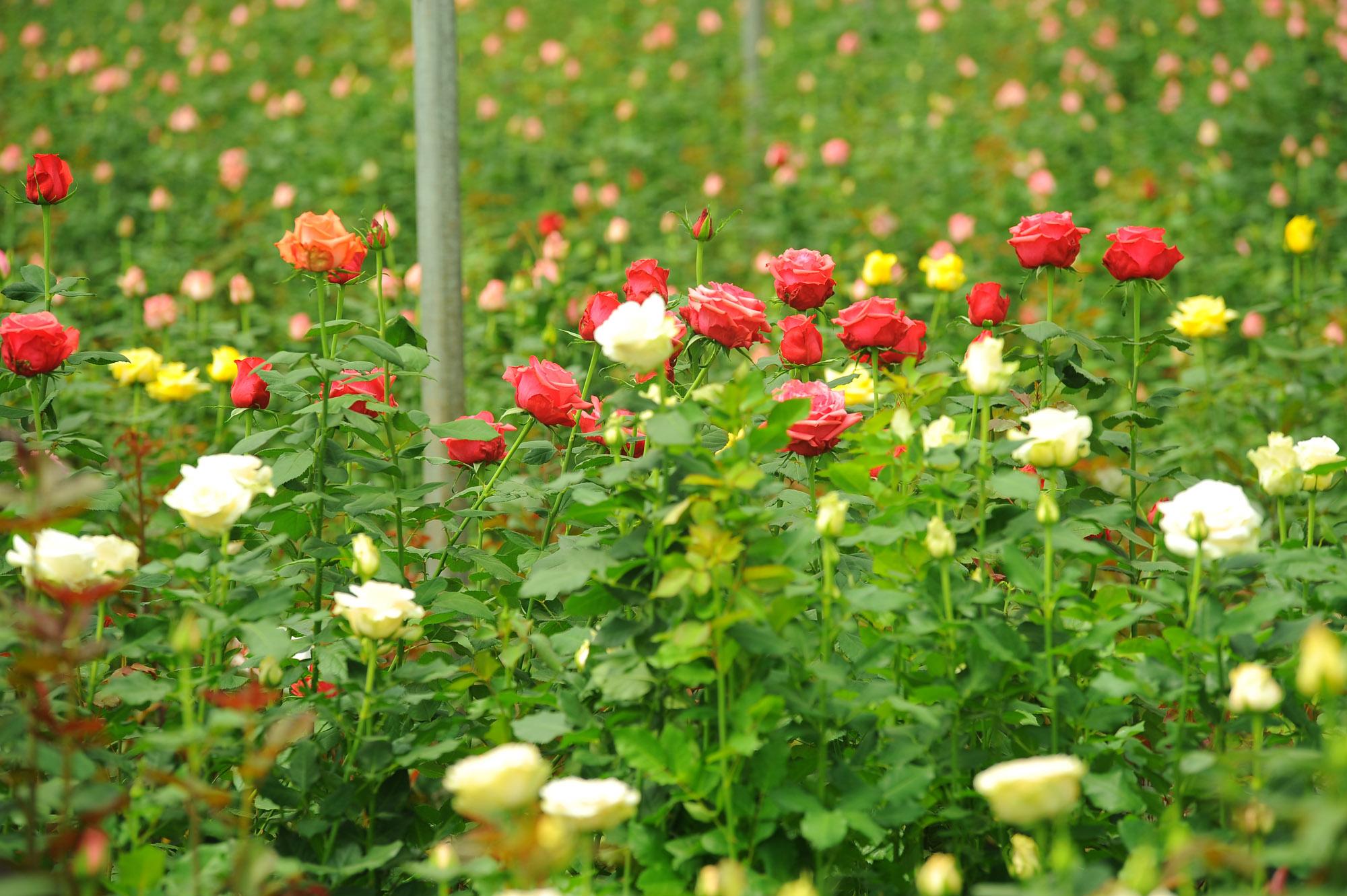 PJ Dave Flora Roses 4