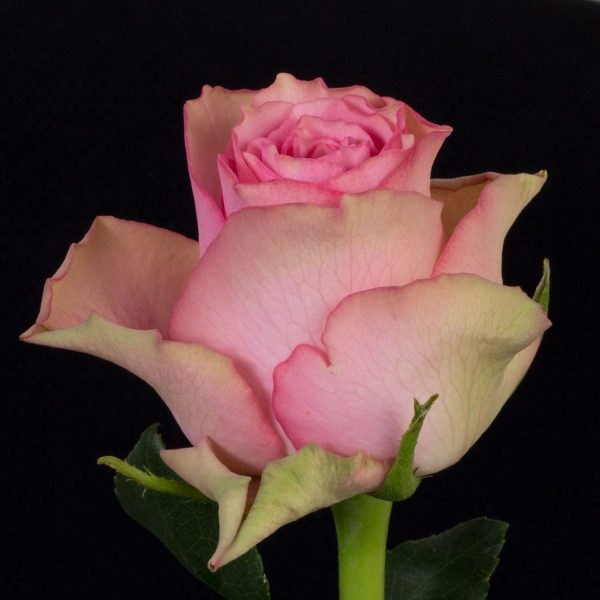 QUALITY premium fresh-cut roses