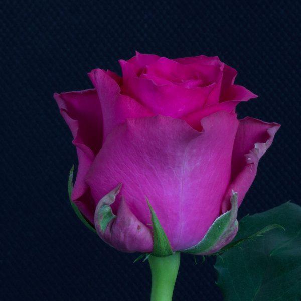 Pink-Rhodos-1