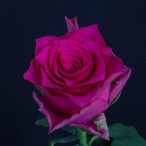 Pink Rhodos 2