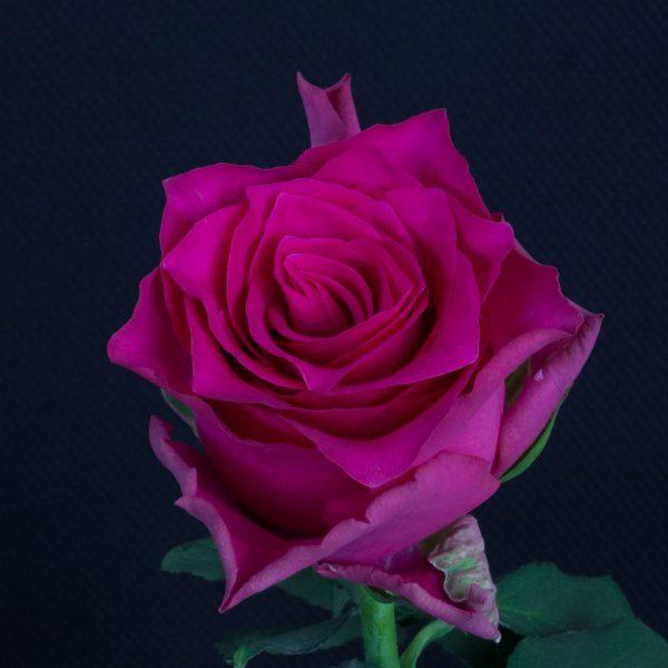 Pink-Rhodos-2