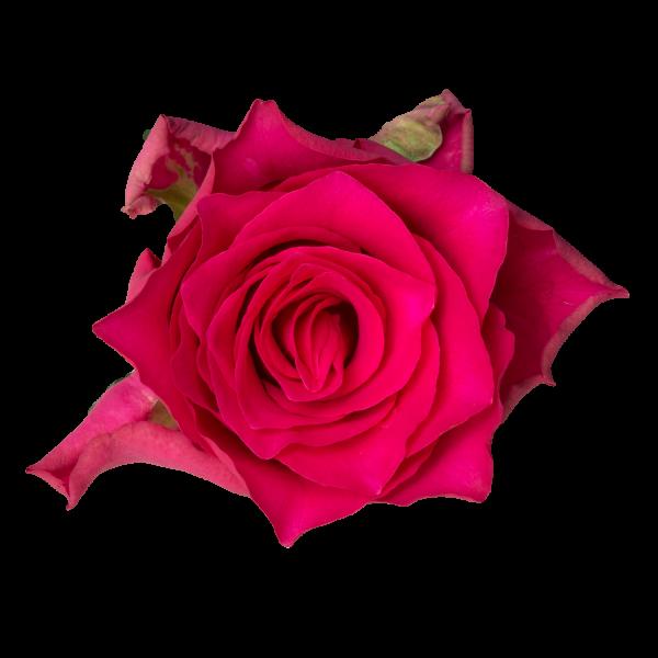 Pink-Rhodos-A